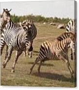 Racing Zebras 1 In Color Canvas Print
