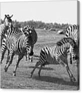 Racing Zebras 1 Canvas Print