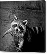 Racoon Bandit Canvas Print