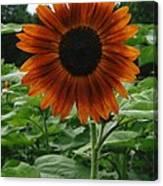Radiant Sunflower  Canvas Print