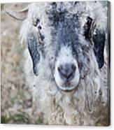 Raggedy Goat Canvas Print