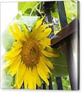 Railed Sunflower Canvas Print