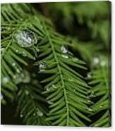 Rain Drops On Cypress Canvas Print