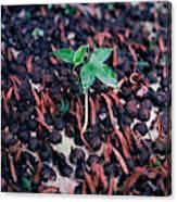 Rain Forest Seedling, Indonesia Canvas Print