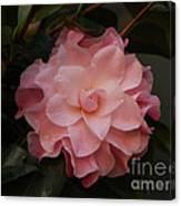 Rain Kissed Camellia Canvas Print