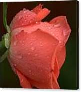 Rain Kissed Rose Canvas Print