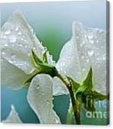 Rain On Sweet Peas Canvas Print