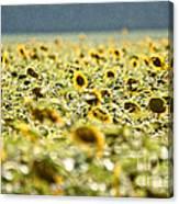 Rain On The Sunflowers Canvas Print