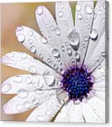 Rain Soaked Daisy Canvas Print
