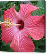 Rain Soaked Hibiscus Canvas Print