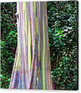 Rainbow Eucalyptus 3 Canvas Print