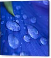 Raindrop Pansy Canvas Print