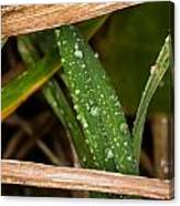 Raindrops In The Grass Canvas Print