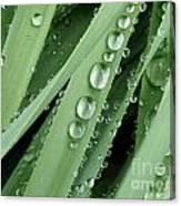 Raindrops On Blades Of Grass Canvas Print