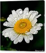 Raindrops On Daisy Canvas Print