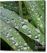 Raindrops On Daylily Leaves Canvas Print