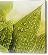 Raindrops On Hostas Canvas Print