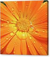 Raindrops On Orange Daisy Flower Canvas Print