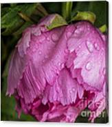 Raindrops On Peony Canvas Print