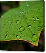 Raindrops On Plumeria Leaf Canvas Print