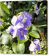 Raindrops On Violets Canvas Print