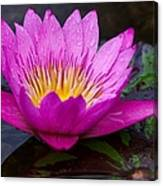 Rainy Day Water Lily Reflections II Canvas Print