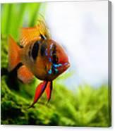 Ram Fish Canvas Print