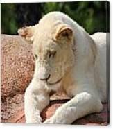 Rare Female White Lion Canvas Print
