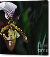 Rare Orchid - Paphiopedilum Gratrixianum Canvas Print