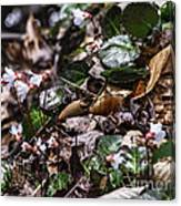 Rare Spring Beauty Canvas Print