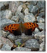 Rarely-sighted Butterfly Species Canvas Print
