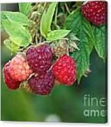 Rasberries Canvas Print