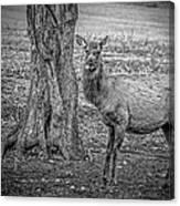 Raspberry Elk Black And White Canvas Print