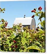 Raspberry Farm Canvas Print