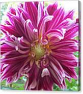 Raspberry Sundae Dahlia Canvas Print