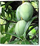 Raw Mangoes Canvas Print