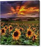 Rays Of Sunflowers Canvas Print