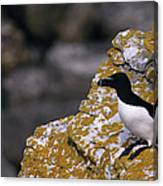 Razorbill Bird Canvas Print