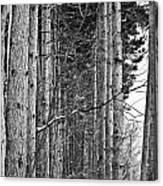 Reaching Pines Canvas Print