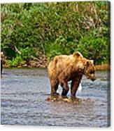 Ready To Pounce On A Salmon  In The Moraine River In Katmai National Preserve-ak Canvas Print