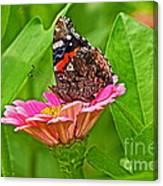 Red Admiral Butterfly And Zinnia Flower Canvas Print