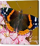 Red Admiral Butterfly Canvas Print