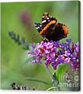 Red Admiral Butterfly On Butterfly Bush Canvas Print