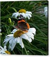 Red Admiral On A Daisy Canvas Print