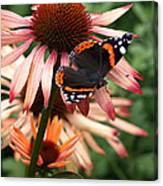 Red Admiral On Coneflower Canvas Print