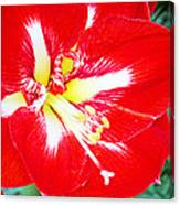 Red Amaryllis Canvas Print