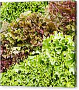 Red And Green Leaf Lettuce  Canvas Print
