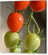 Red And Green Tomatoes Canvas Print
