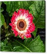 Red And White Gerber Daisy Canvas Print
