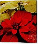 Red And White Poinsettias Canvas Print